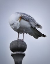 Low Angle View Of Seagull Preening While Perching On Pole