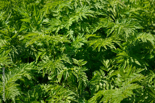 Photo Green ragweed bush close-up. Ambrosia plant allergen.