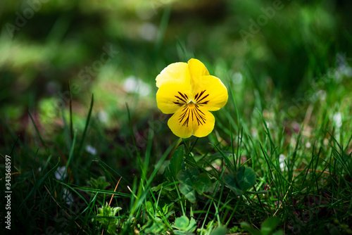 Downy yellow violet in the green grass field