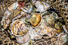 Fresh Raw Closed Oysters In Fi...