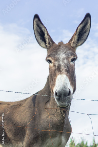 Donkey looking at the camera Canvas Print