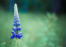 Lupine. A Beautiful, Blue Plan...
