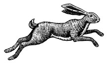 Wild Hare Or Rabbit Is Jumping. Cute Bunny Or Coney Runs Away. Hand Drawn Engraved Old Sketch For T-shirt, Tattoo Or Label Or Poster. Animal Is Running. Vector Illustration.