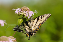 Swallowtail Butterfly At Horic...