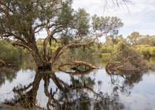 Reflection Of Melaleuca Tree On Lake