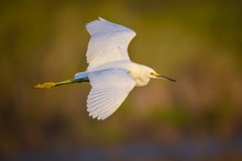 Snowy Egret In Flight Over Mar...