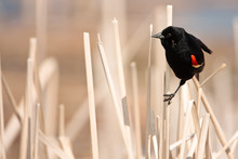 Male Red-winged Blackbird Perc...