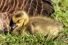 Young Canada Goose Gosling Rests In The Morning Sunshine Alongside Its Mother In The Horicon National Wildlife Refuge, Wisconsin.