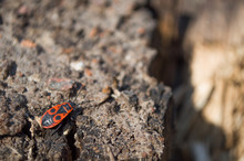 Beetle Soldier Or Firebug On T...