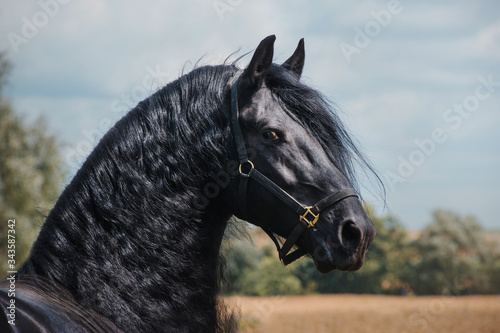 Fototapeta Beautiful friesian stallion obraz