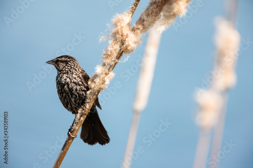 Photo Female Red-winged blackbird perched on old cattails in spring at the Horicon Nat