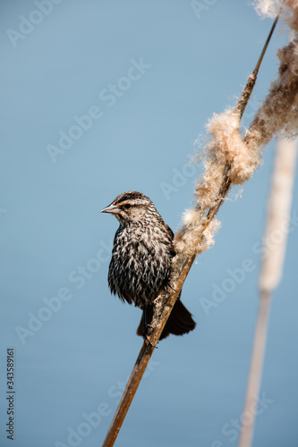 Female Red-winged blackbird perched on old cattails in spring at the Horicon Nat Canvas Print