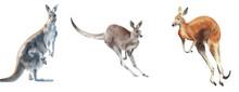 Kangaroo Set Wallaby, Quokka, Red, Gray, Tree Kangaroo Australian Wildlife Watercolor Illustration Isolated On White Background