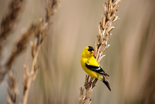 Goldfinch Perched On Seedheads...