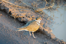Three-banded Plover By Puddle On Dirt Road, Pilanesberg National Park, South Africa