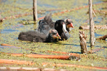 Young American Coots With Their Mother Feeding On Duckweed In The Horicon National Wildlife Refuge, Wisconsin, In Late June.
