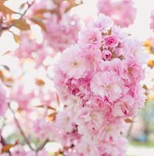 Amazing Pink Sakura Tree In Bl...
