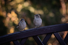 Two Sparrows On The Brown Fence, Bokeh Background. Sparrows In The Garden.