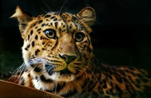 Close-up Of Amur Leopard Looking Away