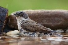 Spotted Flycatcher (Muscicapa Striata) Bathes In The Water Of A Bird Watering Hole. Czechia. Europe.