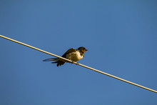 Low Angle View Of Swift Perching On Cable Against Clear Blue Sky