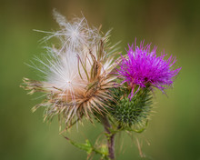 Close-up Of One Blooming Thistle Flower And One Over Flowered Thistle (seed Head)