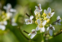 Close Up Of A Garlic Mustard (alliara Petiolata) Plant In Bloom