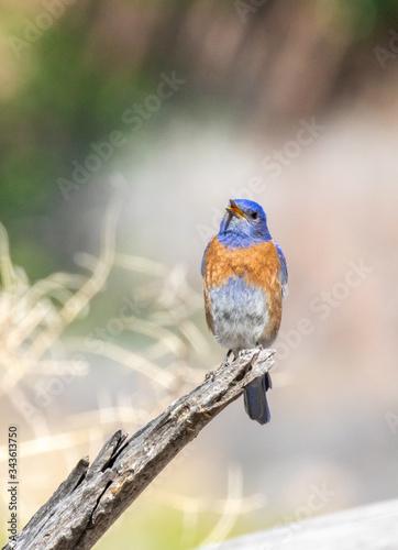 Western bluebird Fototapet