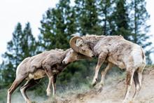 Bighorn Sheep Battling