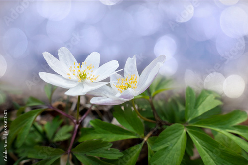 Two white anemone flowers on bright blue or purple  background Canvas Print