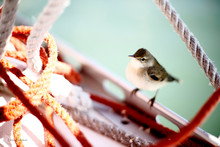Close-up Of Eastern Phoebe Perching On Boat By Ropes At Sea