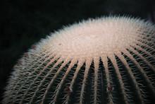 Of Golden Barrel Cactus