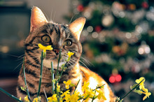 Close-up Of Tabby Cat By Yellow Flowers