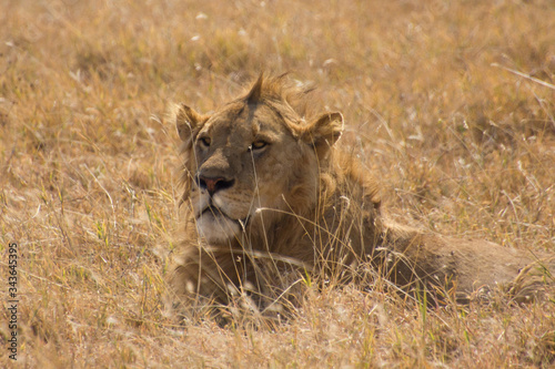 Close up of a male lion laying in the grass