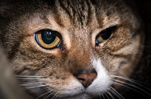 Tabby Cat With Yellow Eyes. Cl...