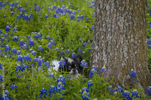 Black and white Chihuahua in Bluebonnet field