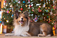 Portrait Of Dog By Christmas Tree