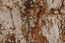 Natural Wooden Texture Background. Closeup Macro Of Old Aged Tree Bark. Abstract Oak Sycamore Tree Nature Backdrop Or Wallpaper. Unusual Pattern Surface With Cracks And Holes.