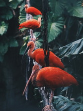 Close-up Of Red Ibis Perching ...