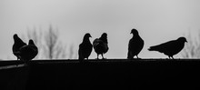 Silhouette Pigeons Perching On...