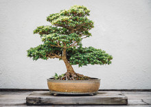 Close-up Of Bonsai Tree On Wood Against Wall