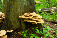 Wild Mushrooms In The Forest O...