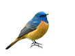 Beautiful orange bird with blue head isolated on white background showing its details from head face wings tails and feet, male of blue-fronted redstart