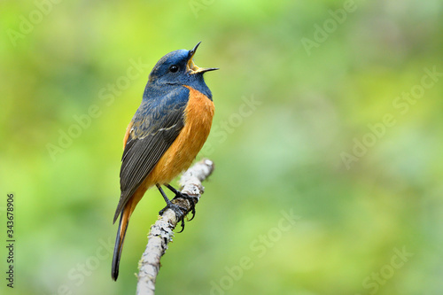 Beautiful orange and blue bird singing on thin branch with lovely action, blue-f Canvas-taulu