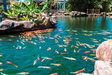 Multi-colored Koi Fish Swim In...