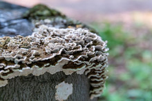 Saprophytic Fungi, Coriolus Versicolor, On A Dead Tree Trunk