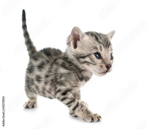 Photo bengal kitten in studio