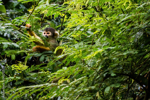 Spider Monkey hides in foliage of the Amazon rainforest in Manu National Park, P Wallpaper Mural