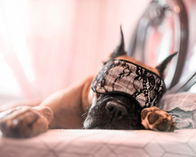 German Boxer Sleeps At Home I...