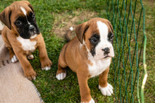 Two Adorable Little Boxer Pupp...